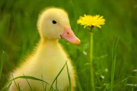 Little yellow duckling on the green grass photo