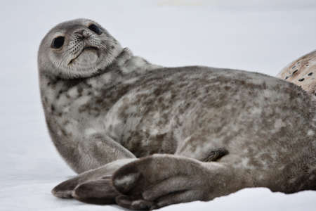 weddell: Seal rests on the snowy slopes of the Antarctic