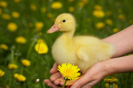 Little yellow duckling in human hands photo