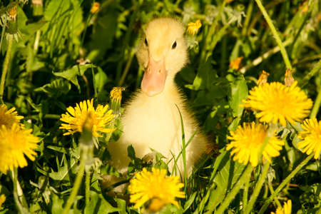 single animal: Small yellow duckling outdoor on green grass Stock Photo