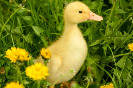 yellow duckling: Small yellow duckling outdoor on green grass Stock Photo