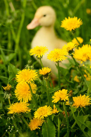 Small yellow duckling outdoor on green grass Stock Photo
