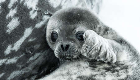 baby seal in Antarctica. close up portrait Stock Photo
