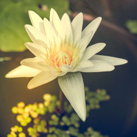 lotos: One white water lily lotos flower