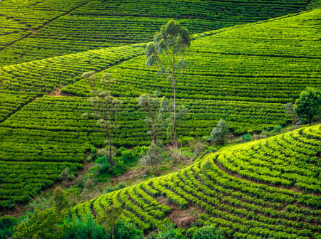 tea estates: Tea plantation in Sri Lanka. Beautiful landscape