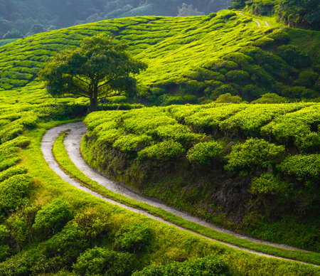 Tea meadow with road and tree on horizon photo