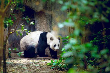 zoo: Giant panda in Singapore zoo Stock Photo