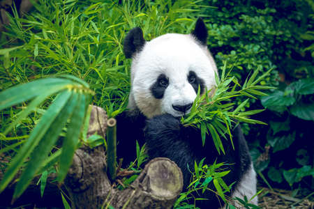 black giant: Hungry giant panda bear eating bamboo