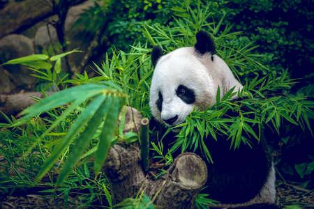 panda: Hungry giant panda bear eating bamboo