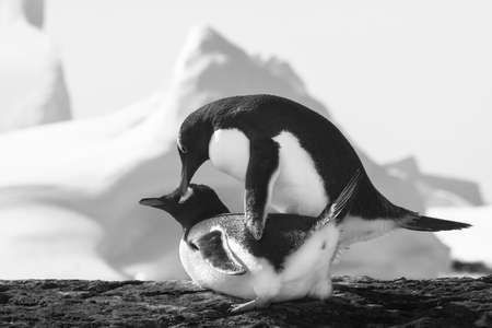 gentoo: Two penguins dreaming sitting on a rock, mountains in the background Stock Photo