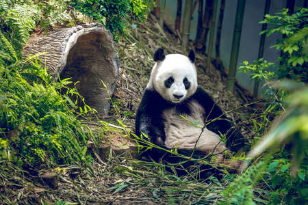 Giant panda in zoo