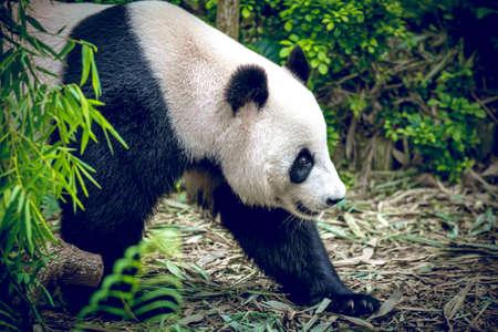 oso panda: Panda gigante en Singapur zool�gico