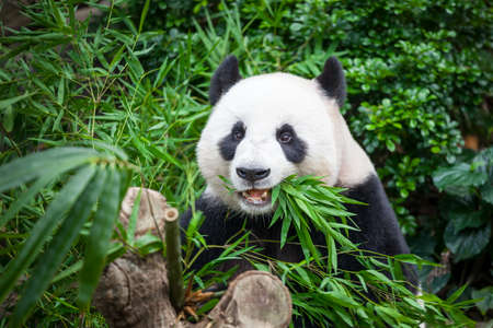 배고픈 자이언트 팬더 곰 먹는 대나무