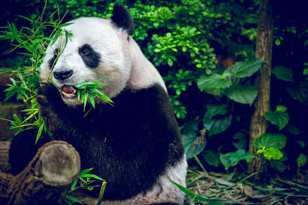 Giant panda looking at camera Imagens