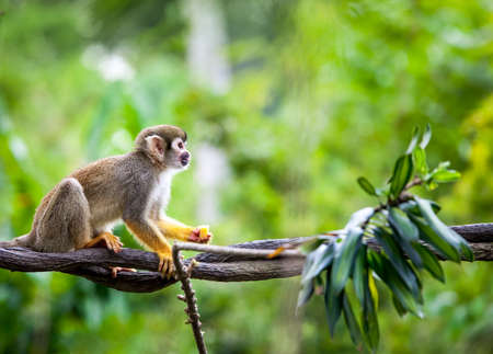 animals in the zoo: Mono ardilla en el h�bitat natural, la selva tropical y la selva, jugar y moverse