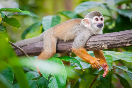 Squirrel monkey in natural habitat, rain forest and jungle, playing and moving around Stock Photo