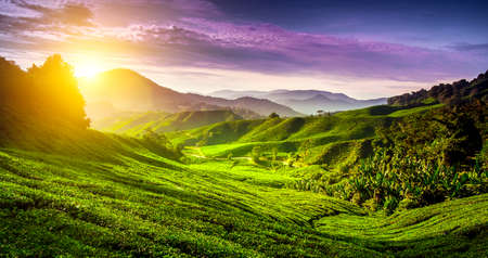 tea estates: Tea plantation in Cameron highlands, Malaysia. Nature background