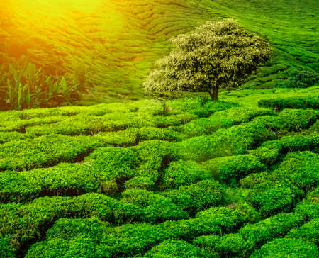 lonley: Lonley tree on tea plantation in the Cameron Highlands, Malaysia