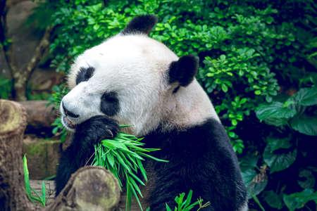 hungry: Hungry giant panda bear eating bamboo