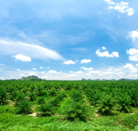 Views of palm oil plantations