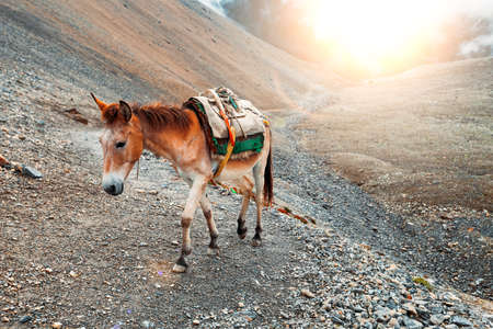 wild donkey: Beautiful landscape in Himalayas mountains, Annapurna area.