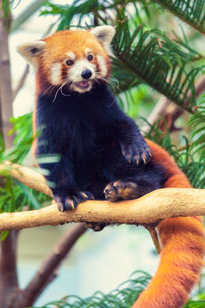 catlike: Red Panda sitting on a branch of a tree in zoo Stock Photo