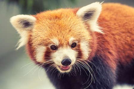 oso panda: Retrato de un panda rojo, Firefox o Panda Menor - Ailurus fulgens