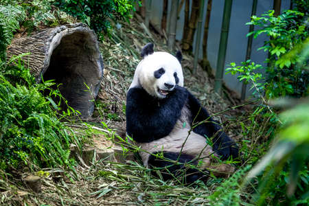 Hongerige reuzenpanda bear eten bamboe