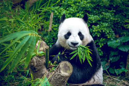 bambou: Hungry panda géant ours manger bambou