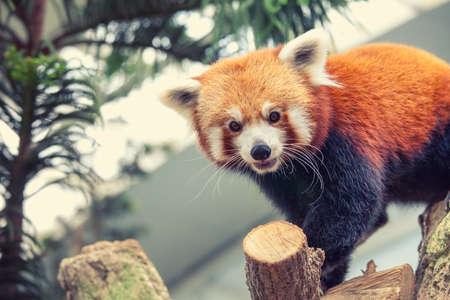 catlike: Portrait of a Red Panda, Firefox or Lesser Panda (Ailurus fulgens)