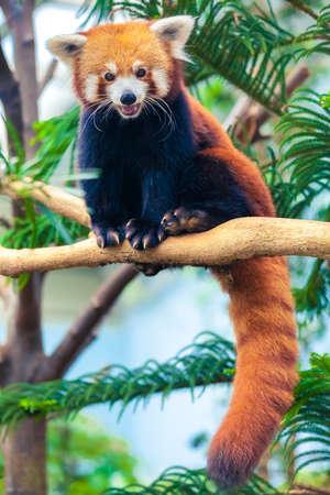 oso panda: Retrato de un panda rojo, Firefox o Panda Lesser (Ailurus fulgens) Foto de archivo