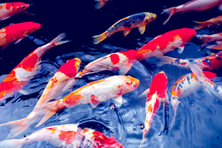 Red gold and white koi fish in a pond Фото со стока