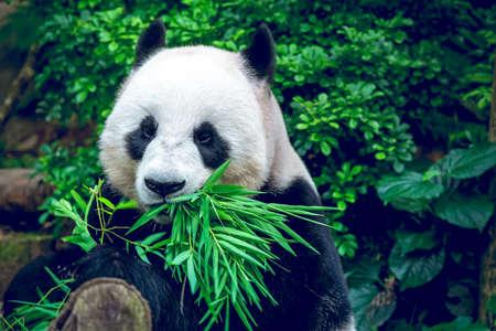 oso panda: Hungry panda gigante oso comiendo bamb�