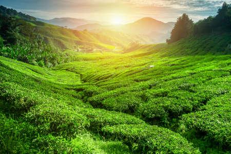 Piantagione di tè nel momento del tramonto. La natura di fondo Archivio Fotografico - 44164045