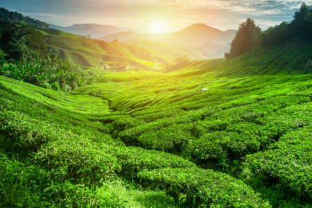 sri: Tea plantation in sunset time. Nature background