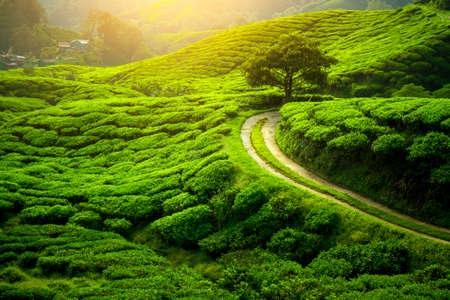 Tea plantation and lonley tree in sunset time. Nature background Stok Fotoğraf