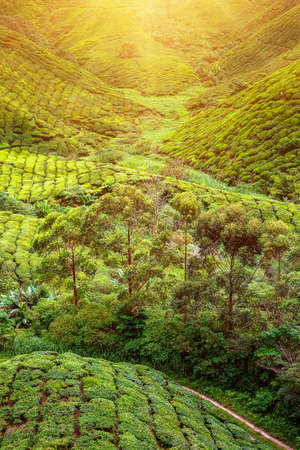 lonley: Tea plantation and lonley tree in sunset time. Nature background Stock Photo