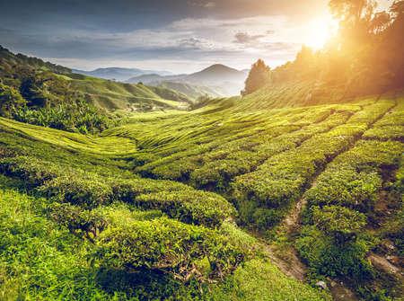 paisaje de campo: Plantación de té en Cameron Highlands, Malasia Foto de archivo