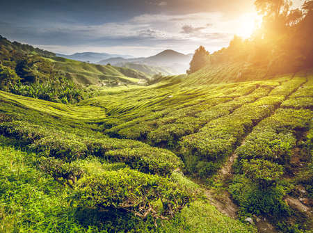 herb tea: Tea plantation in Cameron highlands, Malaysia