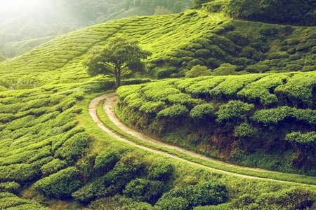 Piantagione di tè in Cameron Highlands, Malaysia Archivio Fotografico - 44608151