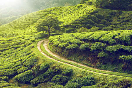 green hills: Tea plantation in Cameron highlands, Malaysia