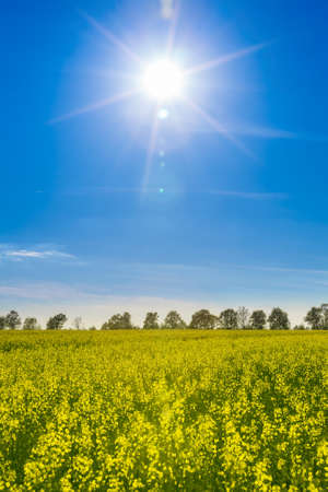 oilseed: field with flowering yellow oilseed rapeseed and bright sun in the sky