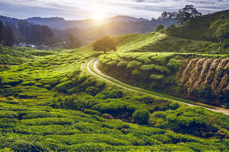 Tea meadow with rural road at sunset  in the Cameron Highlands, Malaysia