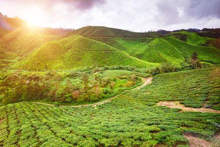 highlands: Tea plantation in Cameron highlands, Malaysia