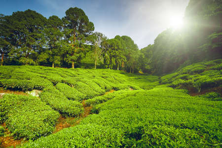 blue and green: Tea plantation in Cameron highlands, Malaysia