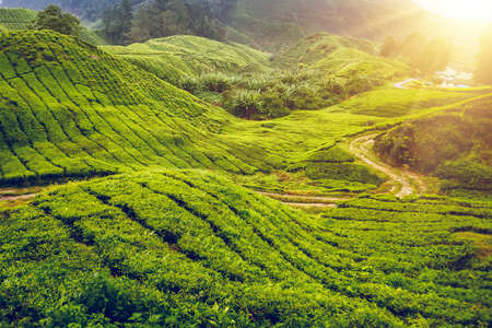 highland: Tea plantation in Cameron highlands, Malaysia