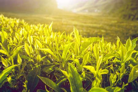 sol radiante: Plantación de té con hojas de té en el sol. La naturaleza de fondo