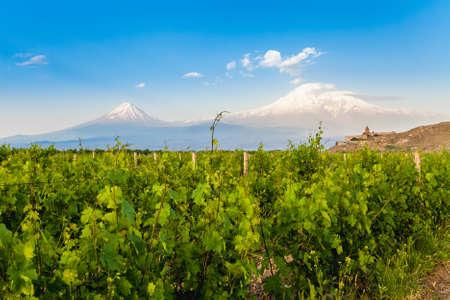 grape field: Grape field in Ararat valley. View of Khor Virap and Mount Ararat. Exploring Armenia Stock Photo