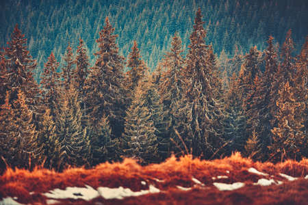 Gorgeous winter landscape the straight rows of wonderful pine trees in the Carpathians Mountains in Ukraine. Beauty of coniferous Bukovel forests. Artistic retouching in red, brown, tawny tints.