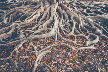 The spreading root system of the old tree on the ground. The variety of shapes in wild nature. Perfect background for the various kinds of collages, illustrations and digital media. Фото со стока